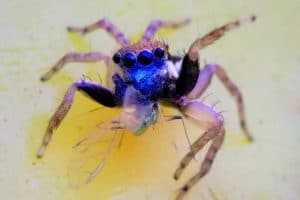 Jotus Spider Australia